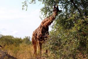 KNP_Giraffe